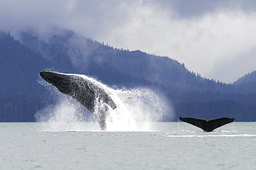 Humpback Whale (Megaptera novaeangliae) breaching after co-operatively bubble-net feeding in Stephen's Passage, Southeast Alaska, USA. Pacific Ocean.