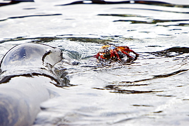 Young Galapagos sea lion (Zalophus wollebaeki) catching and eventually eating a Sally Lightfoot crab (Grapsus grapsus) in the Galapagos Island Group, Ecuador. Pacific Ocean.