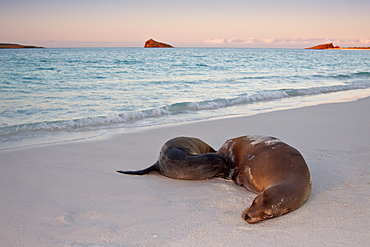 Galapagos sea lion mother and nursing pup (Zalophus wollebaeki) hauled out on the beach in the Galapagos Island Group, Ecuador. Pacific Ocean.