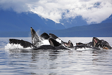 """Humpback whales (Megaptera novaeangliae) co-operatively """"bubble-net"""" feeding (note the baleen hanging from the upper jaws) Chatham Strait, Southeast Alaska, USA. Pacific Ocean."""