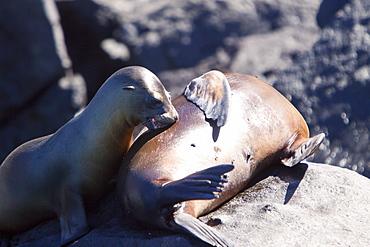 Galapagos sea lion (Zalophus wollebaeki) pup nursing in the Galapagos Island Group, Ecuador. Pacific Ocean.