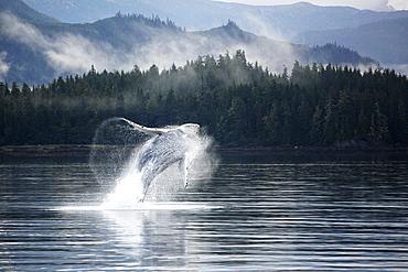 Humpback Whale (Megaptera novaeangliae) calf breaching in Hobart Bay, Southeast Alaska, USA. Pacific Ocean.