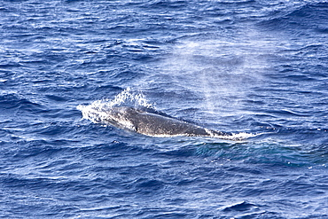A lone adult dwarf minke whale (Balaenoptera acutorostrata subspecies) surfacing in the tropical south Atlantic Ocean
