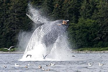 Adult Humpback Whale (Megaptera novaeangliae) breaching in Chatham Strait in Southeast Alaska, USA. Pacific Ocean.