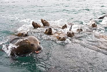 Curious northern (Steller) sea lion (Eumetopias jubatus) colony in Inian Pass near Cross Sound, southeastern Alaska