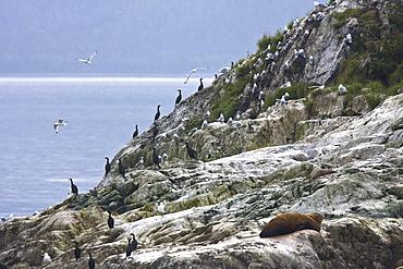 Northern (Steller) sea lion (Eumetopias jubatus) colony on the South Marble Islands inside Glacier Bay National Park, southeastern Alaska