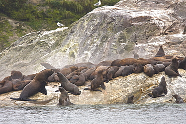 Steam coming from the bodies of northern (Steller) sea lion (Eumetopias jubatus) colony on the South Marble Islands inside Glacier Bay National Park, southeastern Alaska
