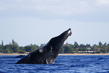 Adult humpback Whale (Megaptera novaeangliae) head-lunging near Mala Wharf in the AuAu Channel, Maui, Hawaii, USA. Pacific Ocean.