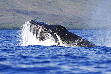 Adult humpback Whale (Megaptera novaeangliae) head-lunge in competitive group (possible mating behavior?) in the AuAu Channel, Maui, Hawaii, USA. Pacific Ocean.