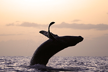 Humpback whale (Megaptera novaeangliae) calf breaching at sunset in the AuAu Channel, Maui, Hawaii, USA. Pacific Ocean.