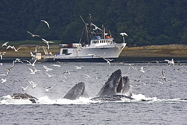 A group of seven adult humpback whales (Megaptera novaeangliae) feeding in Tenakee Inlet on Chichagof Island in Southeast Alaska, USA, Pacific Ocean