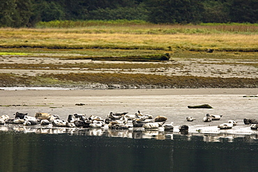 Harbor seals (Phoca vitulina) hauled out and resting on the beach at low tide in Crab Bay on Chichagof Island, Southeast Alaska, USA. Pacific Ocean