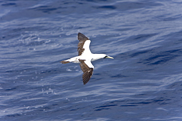 An adult masked booby (Sula dactylatra) following the National Geographic Endeavour in the tropical South Atlantic Ocean off the coast of Brazil