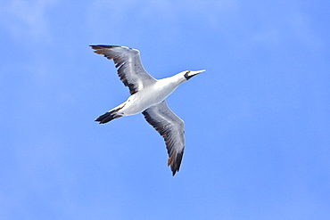 An adult Red-footed booby (Sula sula) following the National Geographic Endeavour in the tropical South Atlantic Ocean off the coast of Brazil
