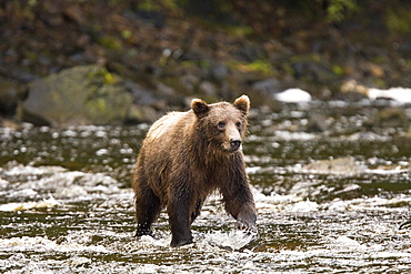 A young Brown Bear (Ursus arctos) fishing for pink salmon near the salmon weir at Pavlof Harbor on Chichagof Island in Southeast Alaska, USA. Pacific Ocean