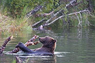 Brown bear (Ursus arctos) at the Brooks River in Katmai National Park near Bristol Bay, Alaska, USA. Pacific Ocean