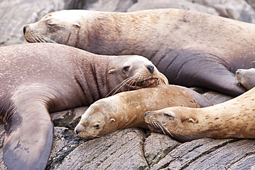 Northern (Steller) sea lion (Eumetopias jubatus) hauled out on South Marble Island in Southeastern Alaska, USA