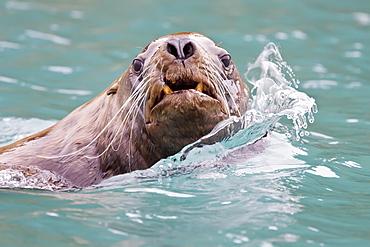 Northern (Steller) sea lion (Eumetopias jubatus) close-up in Southeastern Alaska, USA