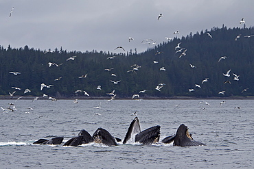"""Adult humpback whales (Megaptera novaeangliae) co-operatively """"bubble-net"""" feeding along the west side of Chatham Strait in Southeast Alaska, USA. Pacific Ocean."""