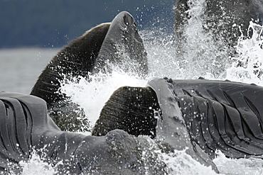 Extremely close up look at adult humpback whales (Megaptera novaeangliae) cooperatively bubble-net feeding in Freshwater Bay on Chichagof Island in Southeast Alaska, USA. Pacific Ocean