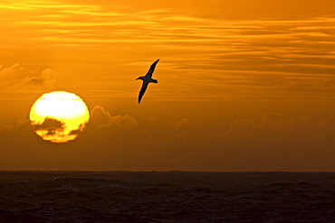 Wandering albatross (Diomedea exulans) on the wing at sunset approaching South Georgia Island, Southern Atlantic Ocean