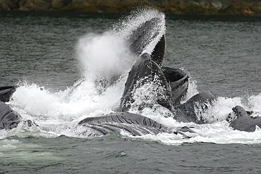 Adult humpback whales (Megaptera novaeangliae) cooperatively bubble-net feeding near Freshwater Bay on Chichagof Island in Southeast Alaska, USA