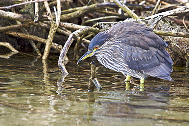 A juvenile Black-crowned Night Heron (Nycticorax nycticorax falklandicus) foraging at low tide on Carcass Island in the Falkland Islands, South Atlantic Ocean