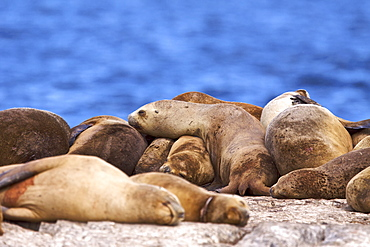 South American Sea Lion (Otaria flavescens) hauled out on small rocky islet just outside Ushuaia, Beagle Channel, Argentina