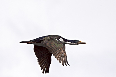 Adult Imperial Shag (Phalacrocorax (atriceps) atriceps) from breeding colony on offshore islets in the Beagle Channel, coastal southern Chile and Argentina