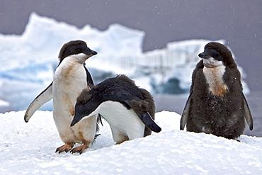 Young adelie penguin (Pygoscelis adeliae) molting near the Antarctic Peninsula, Antarctica.