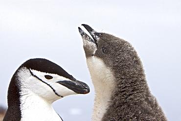 Chinstrap penguin (Pygoscelis antarctica) parent and chick at breeding colony on Useful Island near the Antarctic Peninsula