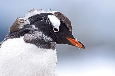 Gentoo penguin (Pygoscelis papua) molting in Antarctica