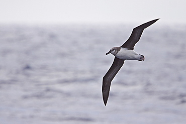 Adult Grey-headed Albatross, (Thalassarche chrysostoma), also known as the Grey-headed Mollymawk, Drakew Passage between South America and the Antarctic Peninsula, Southern Ocean.
