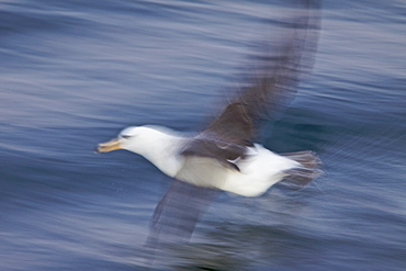 Adult Black-browed albatross (Thalassarche melanophrys) on the wing in the Drake Passage, Falkland Islands, Southern Atlantic Ocean