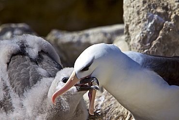 Adult Black-browed albatross (Thalassarche melanophrys) feeding and preening chick at breeding colony on New Island in the Falkland Islands, Southern Atlantic Ocean