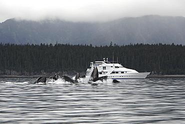Humpback Whales (Megaptera novaeangliae) co-operatively bubble-net feeding near the Safari Quest in Chatham Strait in Southeast Alaska, USA. Pacific Ocean.