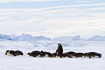 Adult emperor penguin (Aptenodytes forsteri) on sea ice near Snow Hill Island in the Weddell Sea, Antarctica.