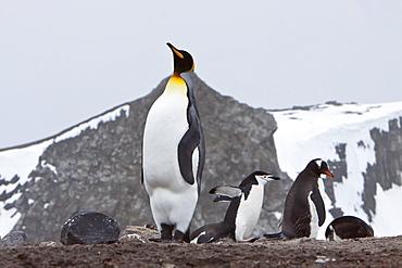 A rare sighting of a lone adult king penguin (Aptenodytes patagonicus), Barrentos Island, South Shetland Islands, Antarctica, Southern Ocean