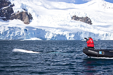 Young Antarctic minke whale (Balaenoptera bonaerensis) bowriding Zodiac in Neko Harbor, Antarctica, Southern Ocean