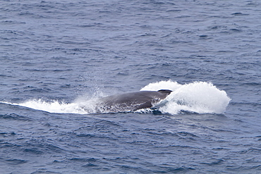 Adult Fin Whale (Balaenoptera physalus) power lunging in the Drake Passage between South America and the Antarctic Peninsula, Southern Ocean