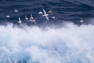 Adult cape petrels (Daption capense) following the ship in the Drake Passage, Southern Ocean