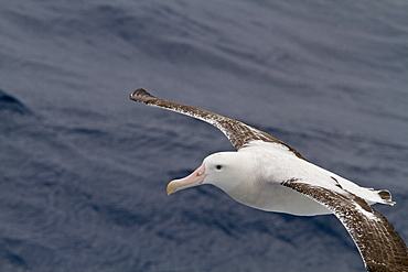 Adult wandering albatross (Diomedea exulans) on the wing in the Drake Passage between the tip of South America and the Antarctic Peninsula, Southern Ocean