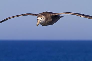 Southern giant petrel (Macronectes giganteus) in flight in the Drake Passage, Southern Ocean