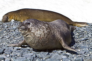 Adult bull with adult female southern elephant seal (Mirounga leonina) on Torgesen Island just outside Palmer Station in Port Arthur, Antarctica