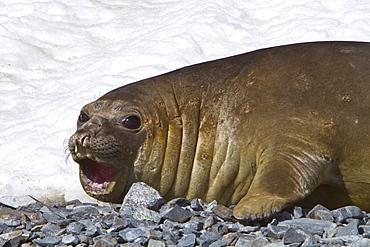 Adult female southern elephant seal (Mirounga leonina) on Torgesen Island just outside Palmer Station in Port Arthur, Antarctica