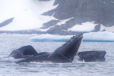 Adult humpback whale (Megaptera novaeangliae) surface lunge-feeding on krill near the Antarctic Peninsula, Antarctica, Southern Ocean