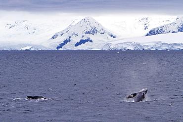 Humpback whale (Megaptera novaeangliae) surfacing near the Antarctic Peninsula, Antarctica, Southern Ocean