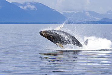 Humpback whale calf (Megaptera novaeangliae) breaching in south Frederick Sound, Southeast Alaska, USA. Pacific Ocean. Note the high number of barnacles on this calf's head and rostrum.