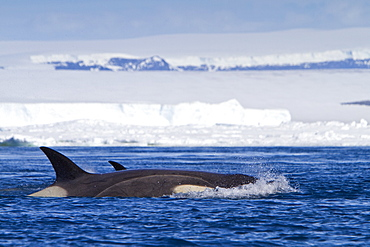 A small pod of 8 Type B killer whales (Orcinus nanus) in pack ice near Snow Hill Island Island, Weddell Sea, Antarctica, Southern Ocean