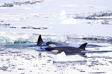 A small pod of 6 to 8 Type B killer whales (Orcinus nanus) in dense first year sea ice south of the Antarctic Circle near Adelaide Island, Antarctica, Southern Ocean.